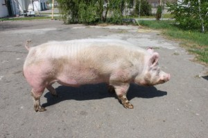 Photos, description of Lithuanian White breed pigs, characteristic for home breeding and maintenance