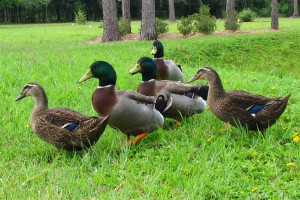 French Rouen ducks breed, photos, description, characteristic for home breeding