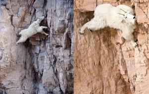 Mountain goat, photos, description