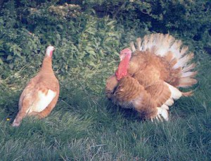 Photos, description, Uzbek pale yellow breed turkeys characteristic
