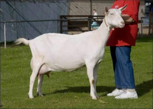 Photos, description Saanen goats for breeding and domestic content characteristic