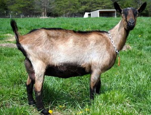 Photos, description Alpine breed goats, characterization, breeding and maintenance of the house, milk yield.