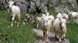 Фото, опис Аппенцелльска породи кіз, характеристика, надої для домашнього розведення.