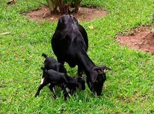 Фото, опис Бенгальської чорної породи кіз, характеристика, надої, домашнє розведення.