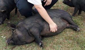 Фото, опис гвінейської породи свиней, характеристика для домашнього розведення.