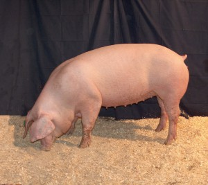 Photos, description Lacombe breed pigs, characteristic for home breeding and maintenance
