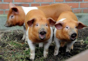 Photos, description protesting the Danish breed pigs, characteristic for home breeding