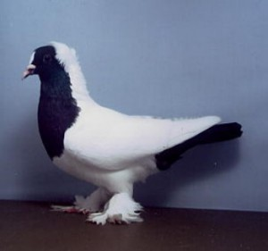 Photos, description beautiful breeds German Blackface pigeons, characteristic for home breeding