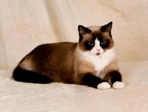Фото, опис кішок породи Сноу-шу, характеристика для домашнього розведення і утримання.