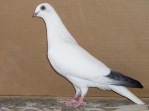 Фото, опис Саксонської породи лелечих голубів, характеристика для домашнього розведення.