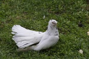Фото, опис аккерманської породи голубів, характеристика для домашнього розведення.