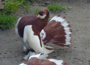 Photos, description breed pigeons of the Altai Territory, characteristic for home breeding