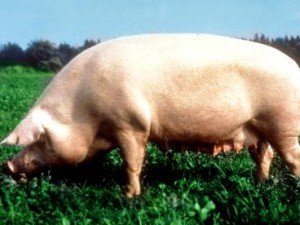 Photos, description Breit breed pigs, characteristic for home breeding