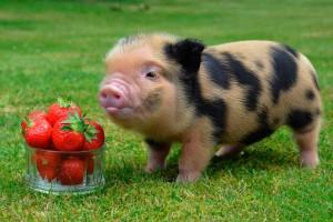 Фото, опис породи Геттінгенської мініатюрної свині, характеристика для домашнього розведення.