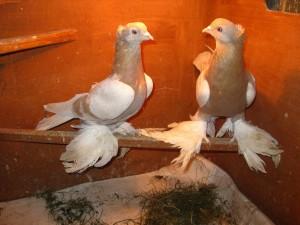 Photos, description pigeons breed agaran, characteristic for home breeding