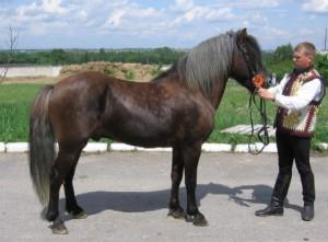 Photos, description Hutsul pony breed (Hutsul), characteristic for the domestic breeding