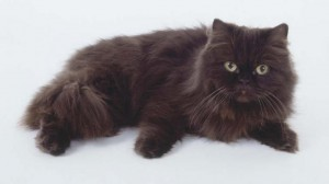 Photos, description breed York Chocolate cats, characteristic for home breeding and maintenance