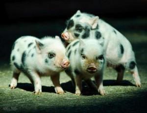 Фото, опис породи свинок міні-піг - юліанського свиня, характеристика.