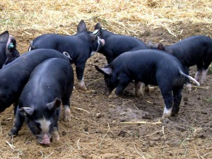 Photos, description Kamerovsky breed pigs, characteristic for home breeding