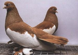 Photos, description - doves, Kamyshin breed characteristic for home breeding