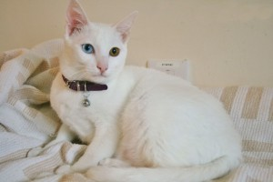 Photos, description breed cats Khao Mani, characteristic for home breeding and maintenance