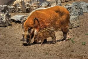 Photos, description kisteuhoy breed pigs, characteristic