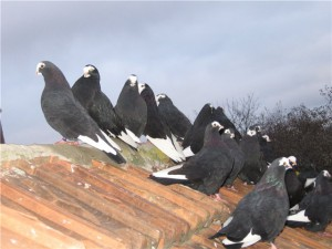 Photos, description pigeons breed Kursk Thurman, characteristic for home breeding