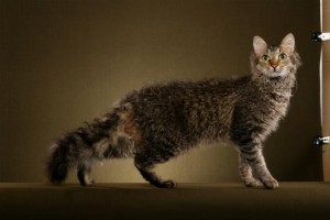 Photos, description cats breed La Perm, characteristic for home breeding and maintenance