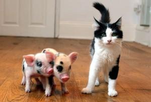 Фото, опис породи свиней міні Майяліно, характеристика для домашнього розведення і утримання.