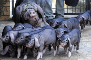Photos, description Meyshan pig breed, characteristic for home breeding and maintenance