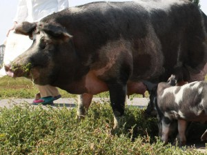 Фото, описание Миргородской породы свиней, характеристика для домашнего разведения и содержания.
