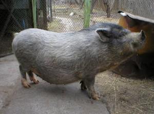 Фото, опис муромської породи свиней, характеристика для домашнього розведення і утримання.