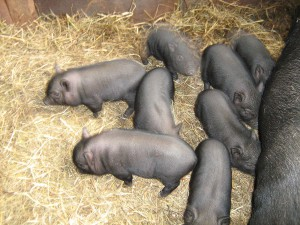 Piglets picture