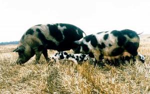 Фото, опис Північнокавказькоі породи свиней, характеристика для домашнього розведення.