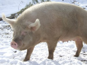 Photos, description of the northern Siberian breed pigs, characteristic for home breeding and maintenance