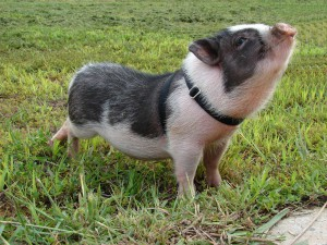 Photos, description miniature Siberian breed pigs, characteristic for home breeding