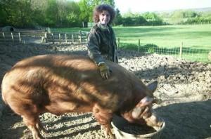 Фото, опис породи свині Темворс, характеристика для домашнього розведення і утримання.
