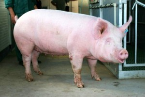 Photos, description Ukrainian steppe white pig breed, characteristic for home breeding and maintenance