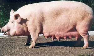 Photos, description Urzhum breed pigs, characteristic for home breeding