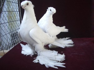 Photos, description, Uzbek pigeons breed forelocks' Boyne, characteristic for home breeding