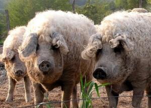 Фото, опис породи свиней угорської пухової мангалиці, характеристика для домашнього розведення і утримання.