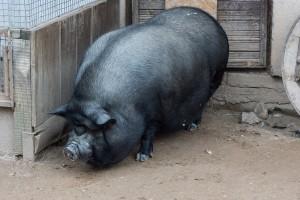 Фото, опис в'єтнамські вислобрюхі свині, характеристика для домашнього розведення і утримання.