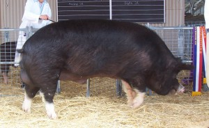 Photos, description breed Berkshire pigs, breeding characteristics and content
