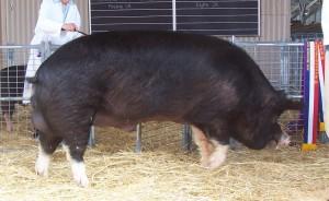 Фото, опис свиней породи беркширська, характеристика для розведення і утримання.