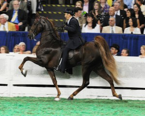 Photos, description American horse breed horses, breeding characteristics
