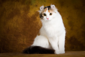 Photos, description cat breed American Curl, characteristic for home breeding and maintenance