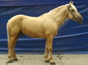 Фото, опис коня білоруської упряжної породи, характеристика для домашнього розведення.