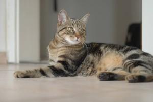 Фото, опис бразильської короткошерстої кішки, характеристика для розведення і утримання.