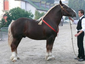 Photos, description breed horses Breton, characteristic for home breeding