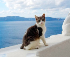 Photos, description Aegean breed cats, characteristic for home breeding